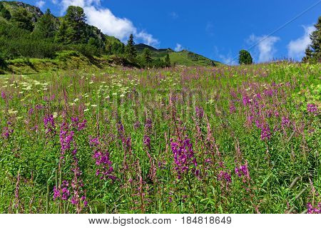 Wildflowers on a alpine meadow in austrian Alps Zillertal High Alpine Road Austria Tirol Tyrol