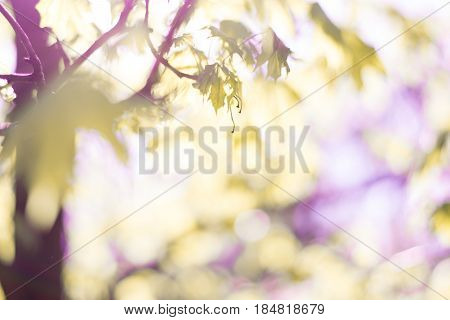 Beautiful background or just a photo of nature in spring. A tree with blurry green leaves. Light spring sunshine in blue tones. This photo has more rosy/pinky/purple colours.