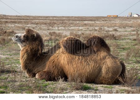Close up view of lying two-humped camel in the background of a village in the Kazakh dry steppe