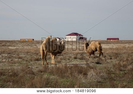 Two-humped camels in the background of a village in the Kazakh dry steppe