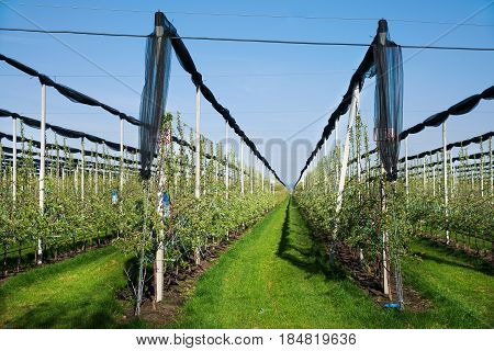 Blooming Apple Orchard In Agricultural Plantation, In Summer Sun With Anti-hail Netting For Protecti