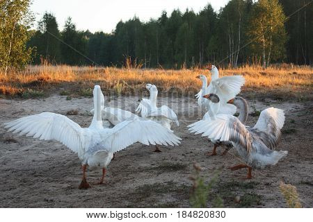 Snow goose spread them wings. Nature. On the countryside.