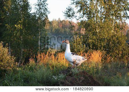 Snow goose on hillock. Beautiful nature. Sunrise.