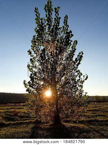 The evening sun has a warm glow through a tree in a pasture that it lights up in rural Crook County in Central Oregon as it sets on a Fall evening.