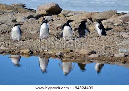 Adelie penguins walking on snow around the polar station. Sunny day. Close-up. Antarctic.