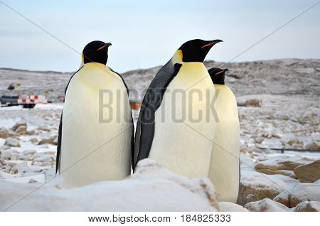 Emperor penguin standing on snow. Clear day. Close-up