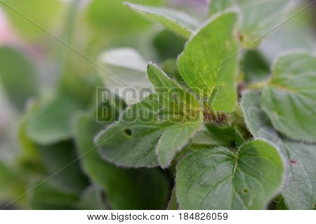 Macro look on the small fresh Oregano leafs with oregano in background