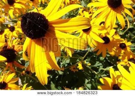 Black-Eyed Susans (Rudbeckia) fill the summer garden with patches of bright yellow.