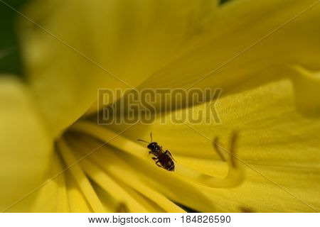 Hemerocallis citrina is natural habitat of asia and china. Eatable and beautiful. Macro with small bug inside the flower