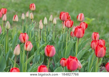 Red spring tulips grow in the flower bed in the park
