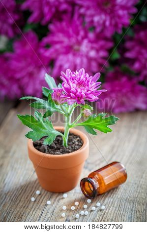 Natural Homeopathic Alternative Treatment For Houseplants And Crops, Chrysanthemum Flower In Pot.