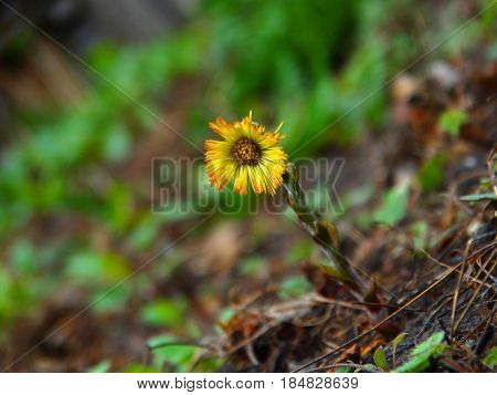 Spring first flowers in the garden Tussilago nature season summer outdoor natural macro wallpaper backgrounds landscape coltsfoot