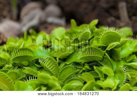 Closeup shot of tiny green Venus flytrap clump. The Venus flytrap (Dionaea muscipula) carnivorous plant native to subtropical wetlands on the East Coast of the USA in North and South Carolina.