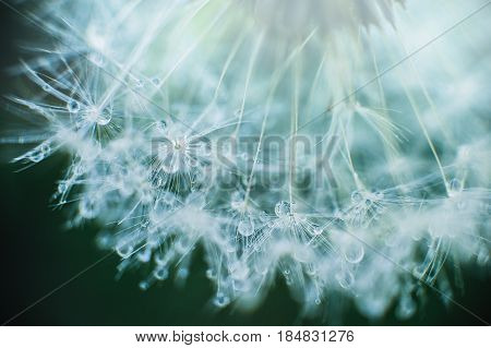 Beautiful dew drops on a dandelion seed macro. Beautiful soft blue background. Water drops on a parachutes dandelion. Copy space