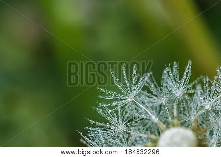 Beautiful dew drops on a dandelion seed macro. Beautiful soft green background. Water drops on a parachutes dandelion. Copy space