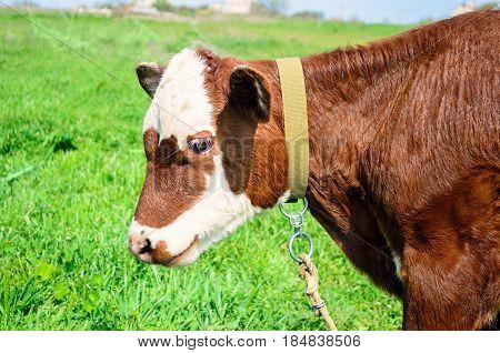 Cow calf standing in a field with green grass. Farming concept. Calf head.
