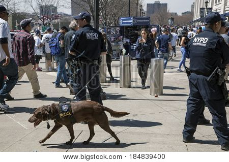 BRONX NEW YORK USA - APRIL 10: NYPD Counter-terrorism Bureau K-9 officers during opening day at Yankee Stadium. Taken April 10 2017 in New York.