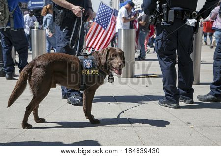 BRONX NEW YORK USA - APRIL 10: NYPDCounter-terrorism Bureau K-9 dog during opening day at Yankee Stadium. Taken April 10 2017 in New York.