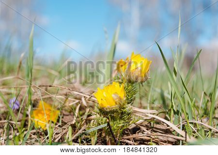 The Adonis Is Yellow. Spring Flower.
