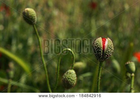 Poppy Buds In The Meadow, Papaver Rhoeas Close Up