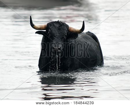 spanish bull in bullring with big horns