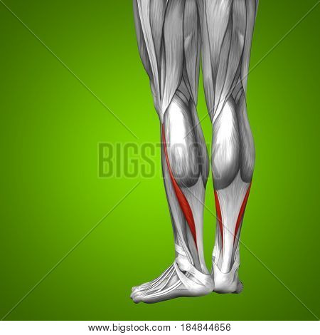 Concept conceptual 3D illustration fit strong back lower leg human anatomy, anatomical muscle isolated green background for body medical health tendon foot and biological gym fitness muscular system