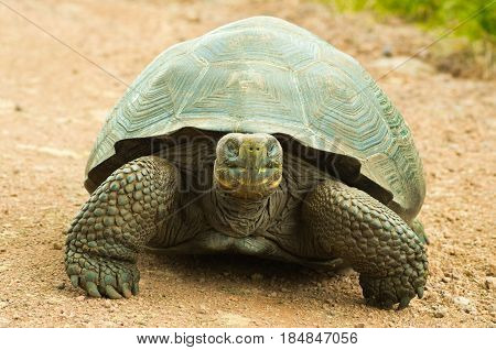 Tortoises are herbivorous animals with a diet comprising cactus, grasses, leaves, vines, and fruit, front view.