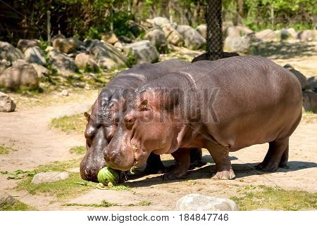 Two Hippopotamus In A Zoo Eating Watermelon