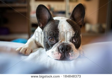 Adorable french bulldog wanna go to bed