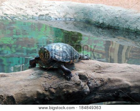 Water turtle resting on a fallen trunk