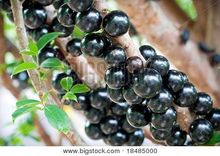 A bunch of black Jabuticaba (also called the Brazilian Grape) fruit