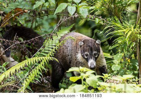 White-nosed coati hidden in the forest in Costa Rica