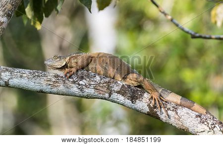 Large Iguana resting on a tree branch in Costa Rica