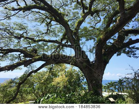 Saman tree at St Kitts 400-year old Saman tree at St. Kitts , West Indies
