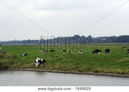 Friesian Cows In Meadow