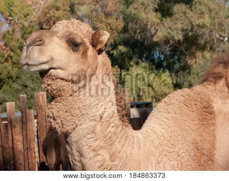 Head shot of Dromedary Camel native of North Africa and Middle East