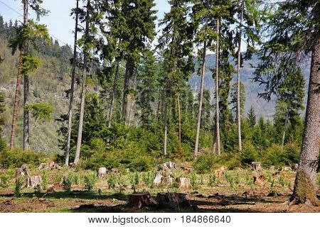 stumps of trees on a background of living green coniferous fir trees, deforestation, and mountain in the background