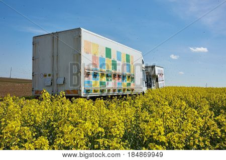 Truck With Bee Hives In A Rape Field