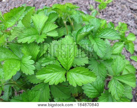 False strawberry, Duchesnea indica, in garden in spring
