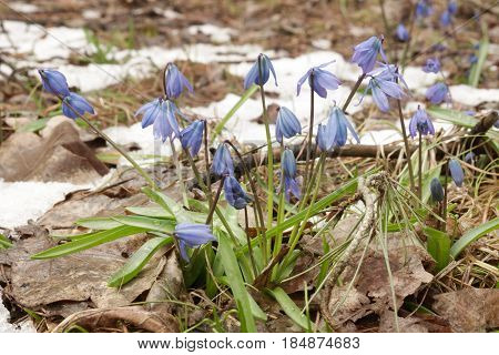 a lush clump of the Siberian squill