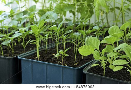 The spring planting. Early seedlings of tomatoespeppers and eggplants grown from seeds in boxes at home on the windowsill.