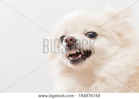 Irated white pomeranian