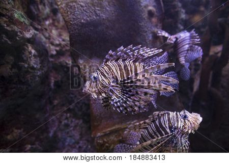 Lionfish swimming on wreck and reef