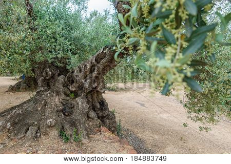 Wide angle closeup view of ancient thousand-year-old olive tree