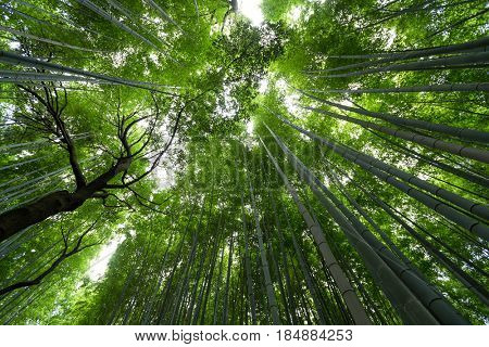 Bamboo forest from low angle