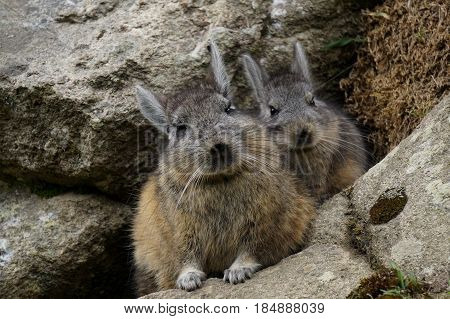 Wild bunny rabbit mom and baby peeking their heads out through the rocks