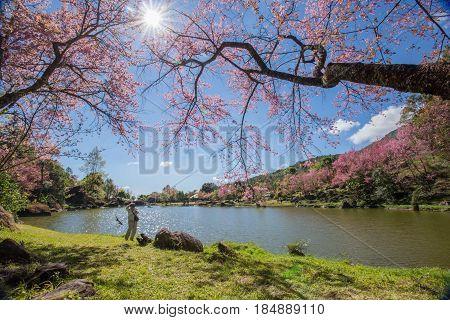 Cherry blossom Thai sakura in winter at Doi Kunwang Chaing mai Province Thailand.