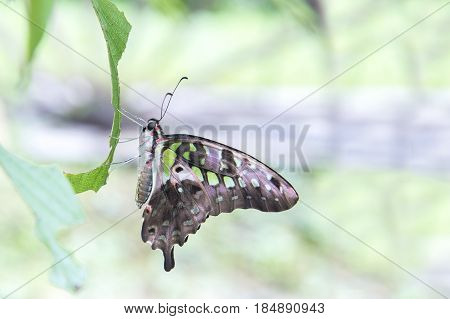 Green Butterfly Tailed Jay Graphium agamemnon Family Papilionidae