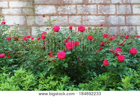 The Roses Growing Near The Brick, Wall In The Courtyard Of Topkapi Palace, Istanbul, Turkey