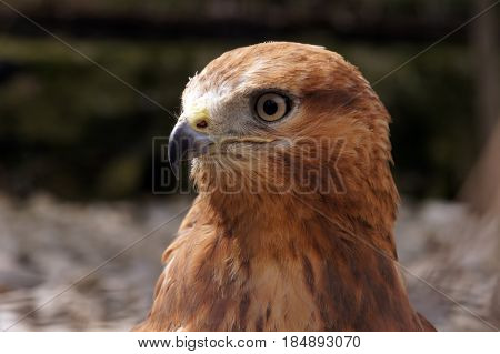 Merlin (Falco columbarius) portrait. Carnivore bird in nature